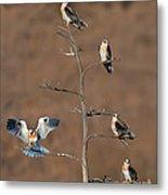 Five White-tailed Kite Siblings Metal Print