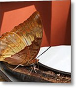 Flame-bordered Charaxes Butterfly #2 Metal Print