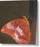 Flame-bordered Charaxes Butterfly #3 Metal Print