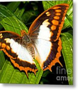 Flame Bordered Charaxes Butterfly Metal Print