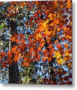 Flaming Maple Beneath The Pines Metal Print