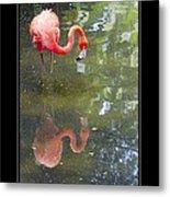 Flamingo Reflected Metal Print