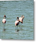 Flamingos Gathering Together Metal Print