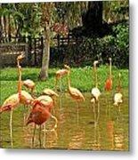 Flamingos Wading Metal Print