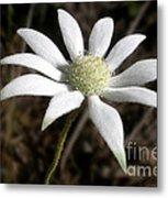 Flannel Flower Metal Print