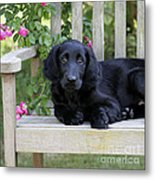 Flat-coated Retriever Puppy Metal Print