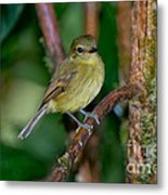 Flavescent Flycatcher Metal Print
