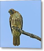 Fledged Red Tailed Hawk Metal Print