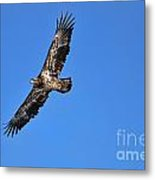 Fledgling Bald Eagle 5048 Metal Print