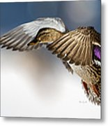 Flight Of The Mallard Metal Print