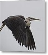 Flight Of The White Necked Heron Metal Print