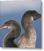 Flightless Cormorant Pair Galapagos Metal Print