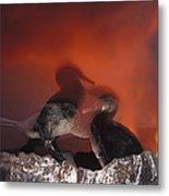 Flightless Cormorants And Volcanic Metal Print