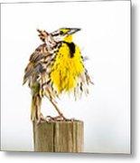 Flluffy Meadowlark Metal Print