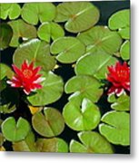 Floating Red Water Lilly Flowers On Pond Metal Print