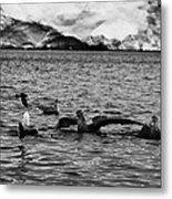 flock of southern giant petrels one showing sealmaster agressive feeding posture in port lockroy Ant Metal Print