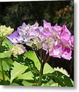 Floral Art Photography Pink Lavender Hydrangeas Metal Print
