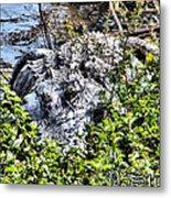 Florida Gator Metal Print