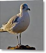 Florida Gull Metal Print