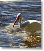 Florida Ibis Metal Print