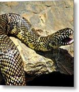 Florida King Snake Lampropeltis Getula Floridana Usa Metal Print
