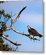 Florida Osprey Having Breakfast Metal Print
