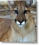 Florida Panther, Endangered Metal Print