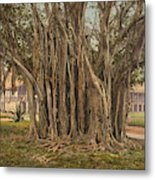 Florida Rubber Tree, C1900 Metal Print