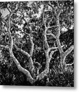 Florida Scrub Oaks Bw   Metal Print