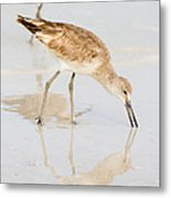 Florida Shorebirds - Willets In Their Summer Finery Metal Print