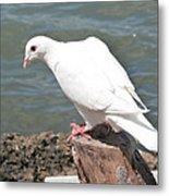 Florida White Pigeon Metal Print