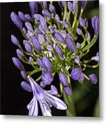 Flower- Agapanthus-blue-buds-one-flower Metal Print
