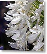 Flower-agapanthus-white-flora Metal Print
