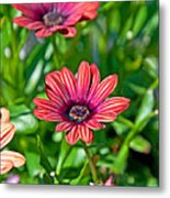 Flower Astra Outback Purple Art Prints Metal Print