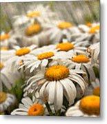 Flower - Daisy - Not Quite Fresh As A Daisy Metal Print