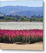 Flower Fields Of Lompoc Valley Metal Print