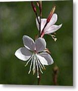 Flower-gaura-white  Metal Print