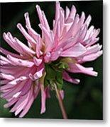Flower-pink Dahlia-bloom Metal Print