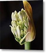 Flower-white-agapanthus-bud Metal Print