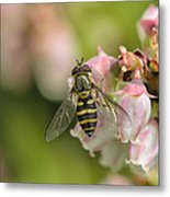 Flowerfly Pollinating Blueberry Buds Metal Print