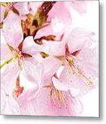 Flowering Cherry Metal Print