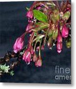 Flowering Cherry Trees Buds Metal Print