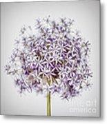 Flowering Onion Flower Metal Print