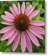 Flowering Purple Cone Flower Metal Print