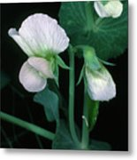 Flowers Of The Garden Pea Metal Print