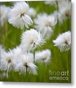 Flowery Cotton Metal Print