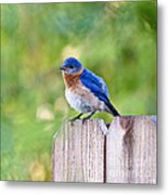 Fluffed Up Metal Print