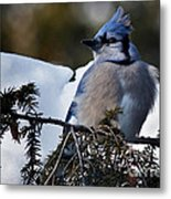 Fluffy Blue Jay Metal Print
