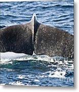 Flukes Of A Sperm Whale Metal Print