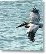 Flying Brown Pelican  Metal Print